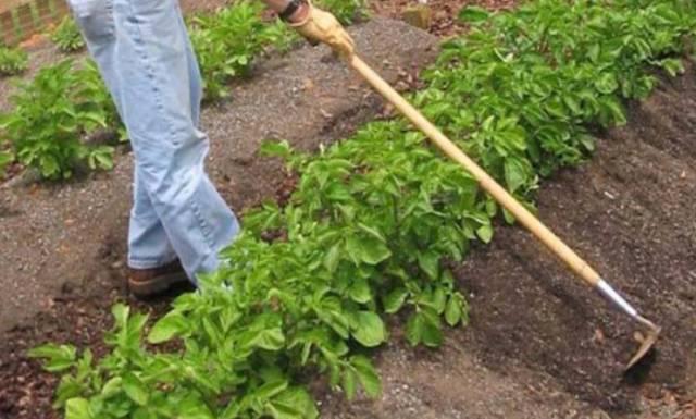 Как вырастить большой урожай картофеля голландским способом