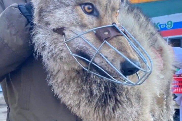Волка поймали около детского дома в Иркутске