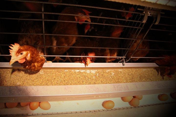 Компания новосибирского агрария подала на банкротство «Коченевской птицефабрики» на фоне дела Морозова