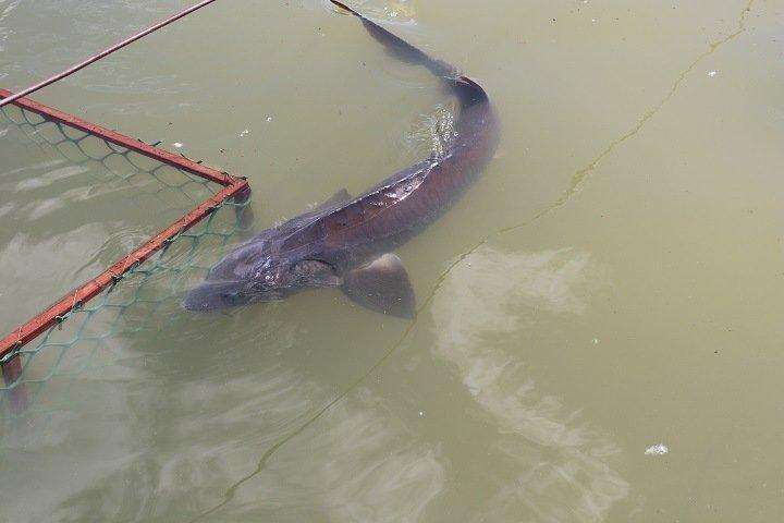 Новосибирский рыбзавод начнет восстанавливать популяцию краснокнижного осетра