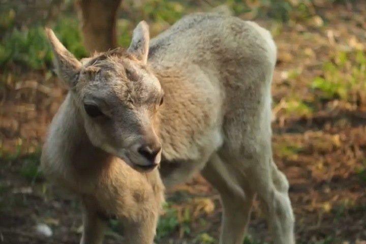 Новосибирский зоопарк показал новорожденных аргали и волчат. Видео