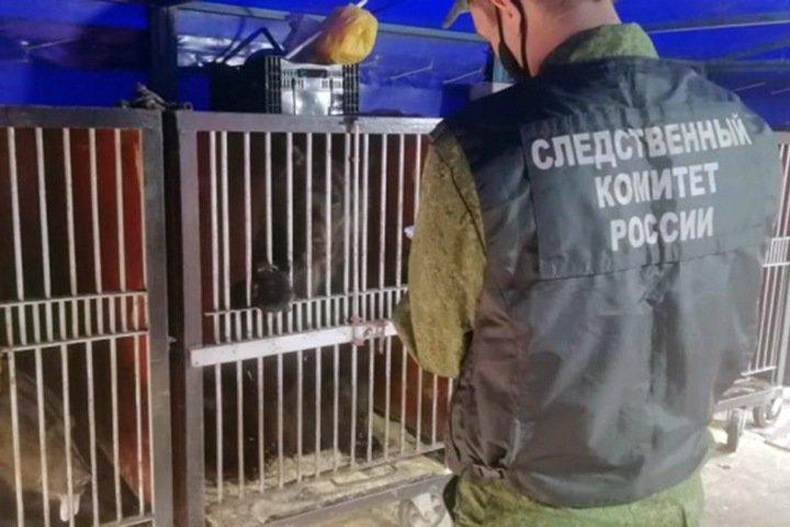 СК проверит нападение медведя на дрессировщицу в Кузбассе