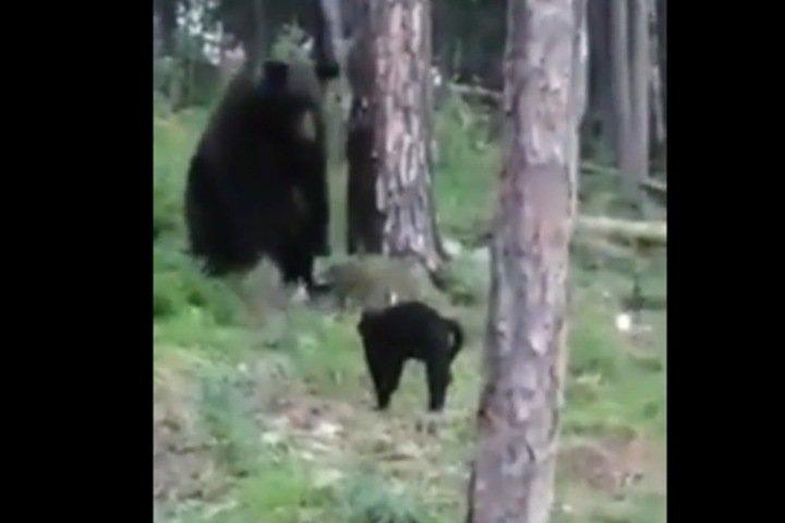 «А ты его за обои ругала»: домашний кот Василий не пустил медведя на пикник в Бодайбо