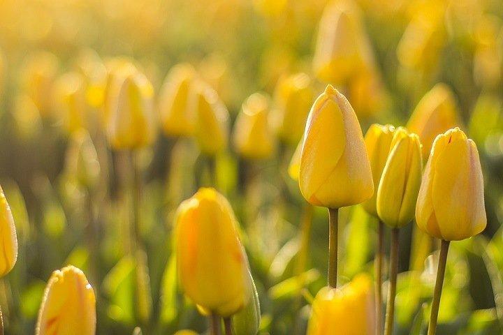 Предприниматели инвестируют 50 млн в выращивание тюльпанов под Новосибирском