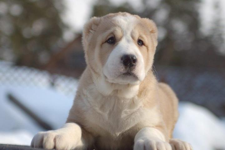 Несколько собак нашли застреленными в районах Алтайского края