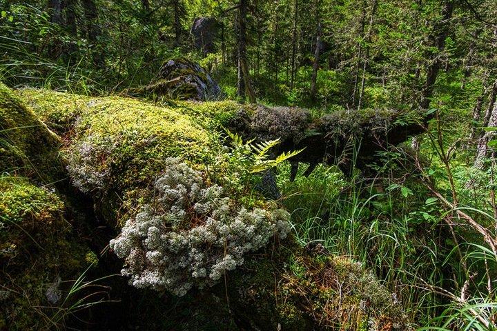 Сибирский мох быстро восстанавливается после разливов топлива
